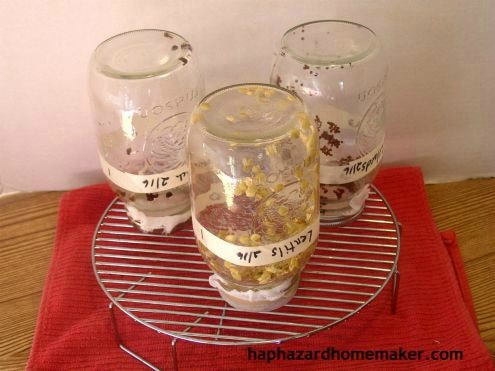 Sprouts Draining on Rack- haphazardhomemaker.com