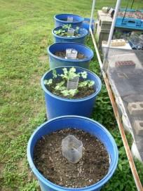 Easy to Maintain Container Garden Week 3 Update Beans & Peas - haphazardhomemaker.com
