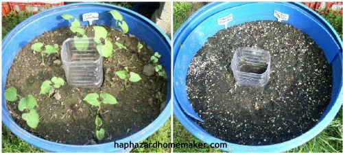 Easy to Maintain Container Garden Week 3 Update Beans - haphazardhomemaker.com