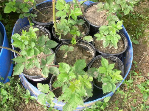 Easy to Maintain Container Garden Week 3 Update Blackberry Plants - haphazardhomemaker.com