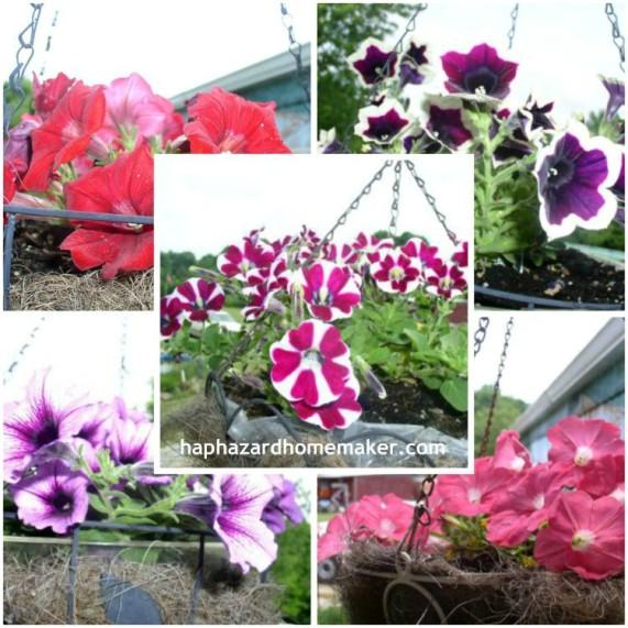 Easy to Maintain Container Garden Week 3 Update Hanging Flower Baskets - haphazardhomemaker.com