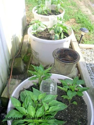 Easy to Maintain Container Garden Week 5 Update Bell Peppers - haphazardhomemaker.com