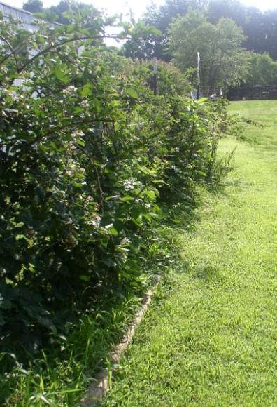 Easy to Maintain Container Garden Week 5 Update, Blackberries - haphazardhomemaker.com