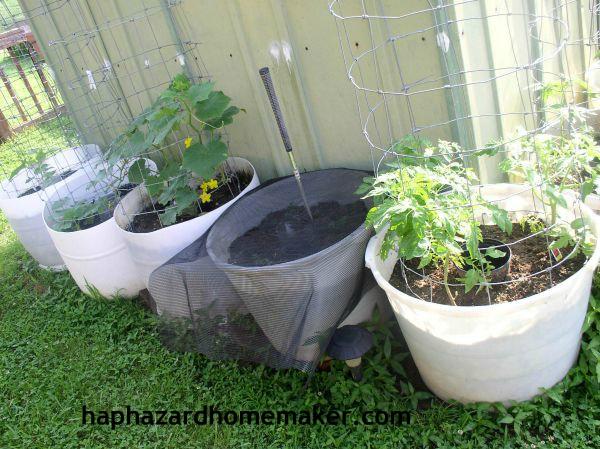 Easy to Maintain Container Garden Week 5 Update Cucumbers - haphazardhomemaker.com