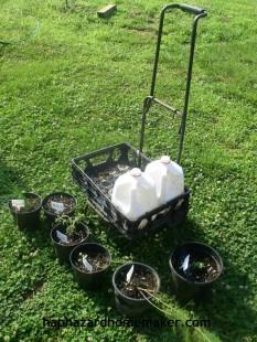 Easy to Maintain Container Garden Week 5 Update Cart - haphazardhomemaker.com