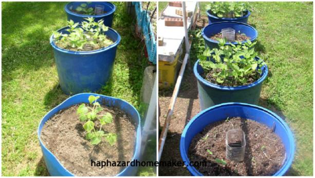 Easy to Maintain Container Garden Week 5 Update, Beans & Squash - haphazardhomemaker.com