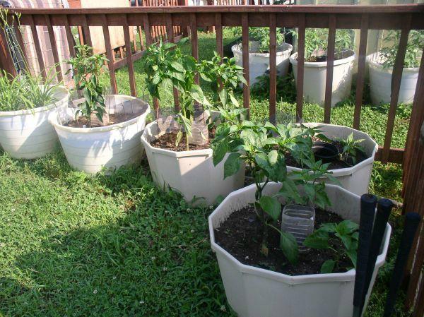 Easy to Maintain Container Garden Week 5 Update Hot Peppers - haphazardhomemaker.com