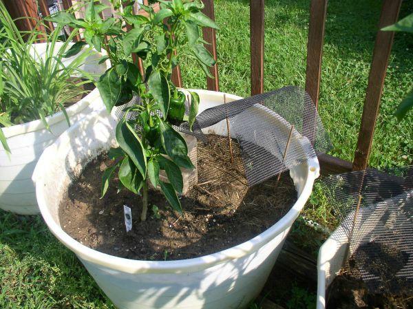 Easy to Maintain Container Garden Week 5 Update Seedling Tents - haphazardhomemaker.com