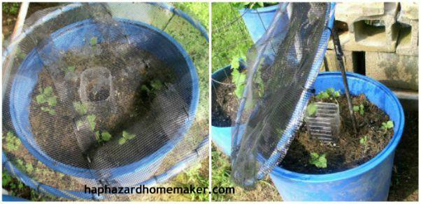 Easy to Maintain Container Garden Week 5 Update Tent Options- haphazardhomemaker.com