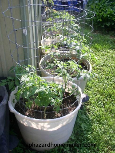 Easy to Maintain Container Garden Week 5 Update Tomatoes - haphazardhomemaker.com