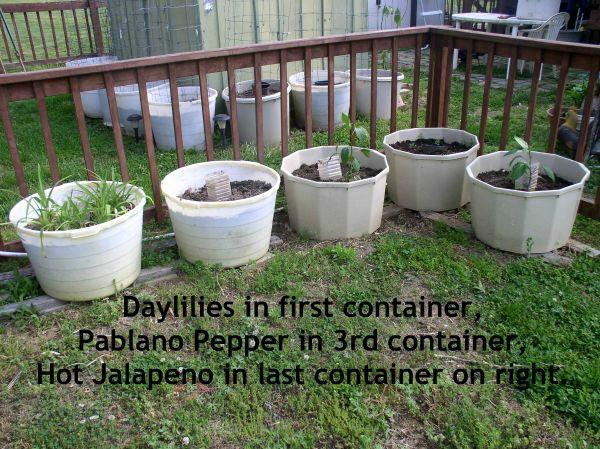 Update 2 Container Garden, Daylilies, Pablona Pepper, Hot Jalapeno - haphazardhomemaker.com