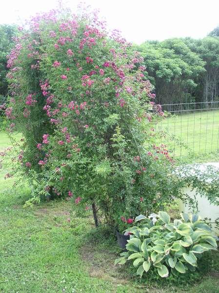 Heirloom Seven Sisters Roses Arbor- haphazardhomemaker.com