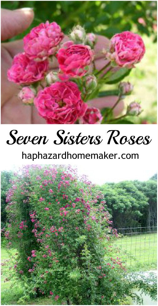 Heirloom Seven Sisters Roses - haphazardhomemaker.com