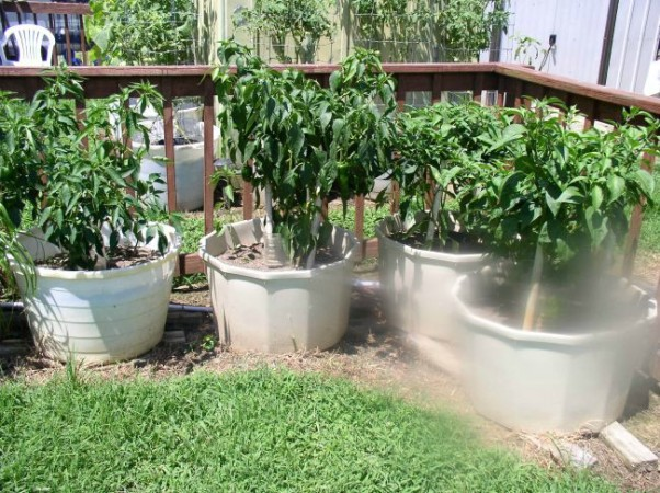 Hot Peppers week 10