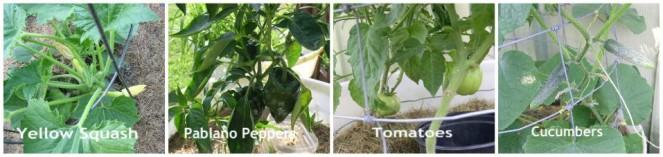 Easy to Maintain Container Garden Week 6 Update Vegetable Collage - haphazardhomemaker.com