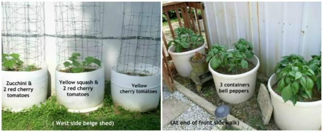 Easy to Maintain Container Garden Bell Peppers Week 6  Update -haphazardhomemaker.com