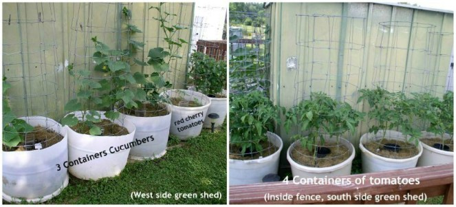 Easy to Maintain Container Garden Week 6 Update Green Shed - haphazardhomemaker.com
