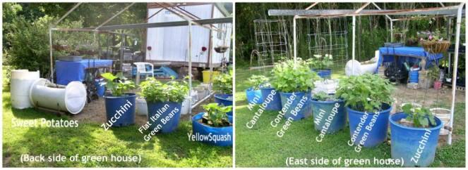 Easy to Maintain Container Garden Week 6 Update Greenhouse Area - haphazardhomemaker.com