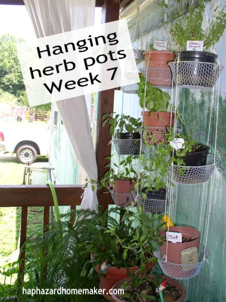 Week 7 Update Hanging Potted Herbs - haphazardhomemaker.com