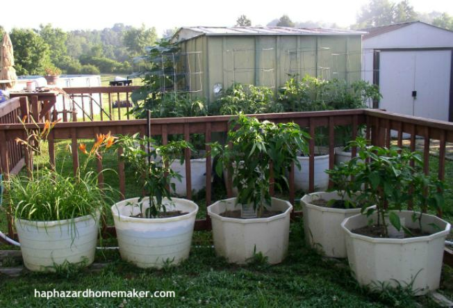 How to Grow Hot Peppers in a Container- haphazardhomemaker.com