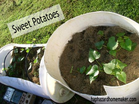 Container Grown Sweet Potatoes - haphazardhomemaker.com
