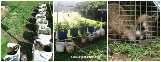 Container Garden Week 7 Update Rocky Raccoon- haphazardhomemaker.com