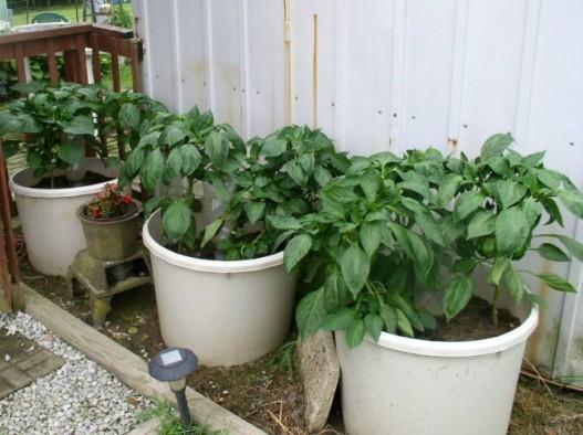 Week 8 Update Container Garden Bell Peppers