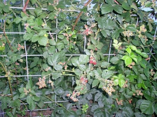 Week 8 Update Blackberries