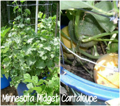 Minnesota Midget Cantaloupe
