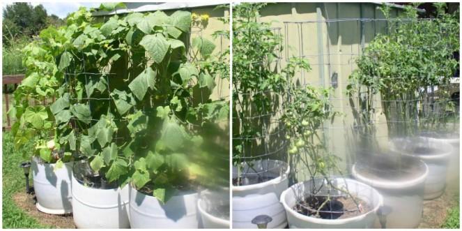 Tomatoes & Cucumbers