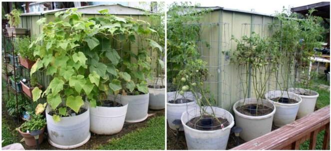 Week 11 Cucumbers & Tomatoes