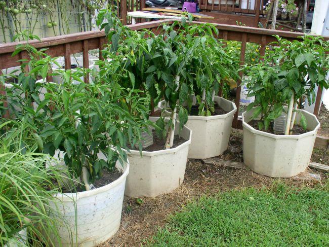 Week 11 Hot Peppers