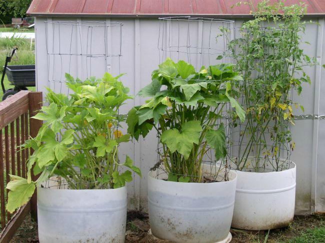 Week 11 Squash & Tomatoes