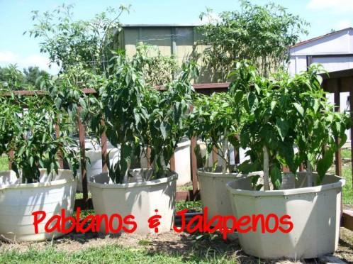 Pablanos & Jalapenos
