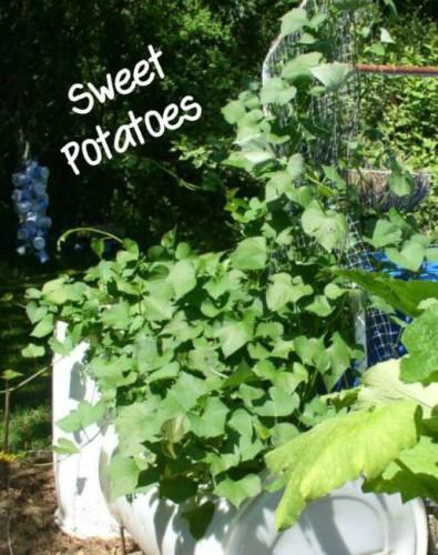 Week 12 Sweet Potatoes