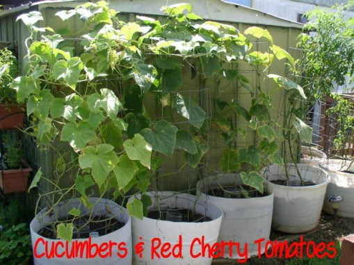 Cucumbers & Red Cherry Tomatoes