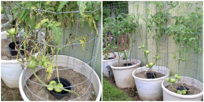 Week 9 Tomatoes