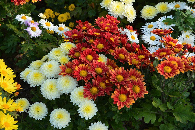 Colorful Mums for Fall