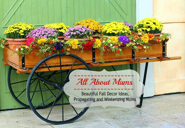 Potted Mums for fall decor