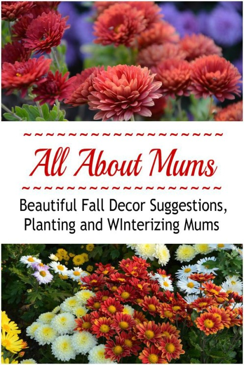 Fall Decor, Planting Mums, Winterizing Mums, Propagating Mums