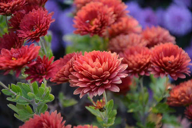 Fall Chrysanthemums