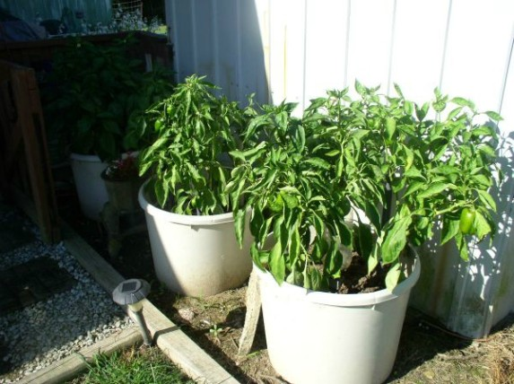 How to Grow Bell Peppers in Containers