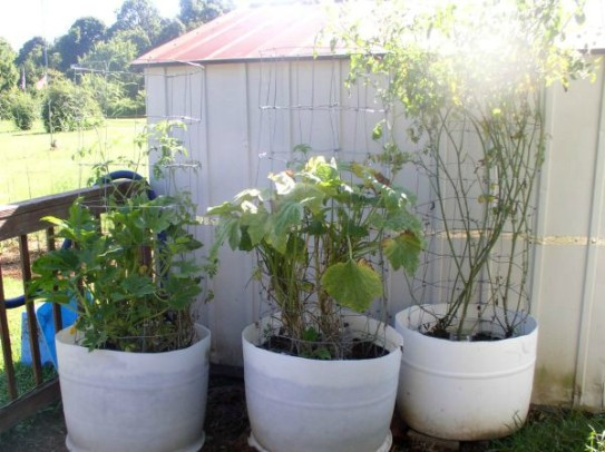 How to Grow Squash in Containers