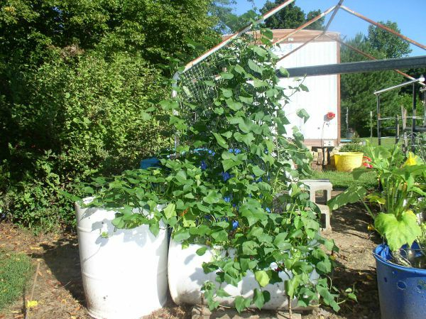 How to grow sweet potatoes in a container