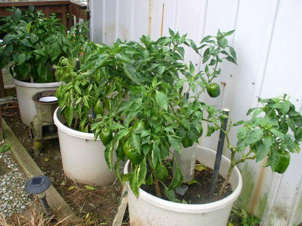 Container Garden Update #15 - haphazardhomemaker.com