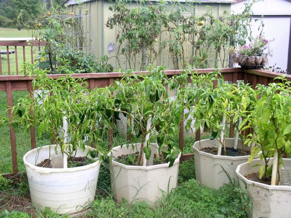 Container Garden Update #15 - Hot Peppers